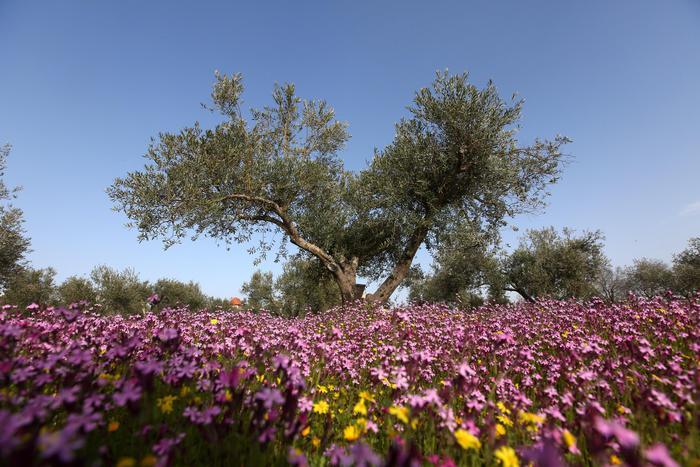 Olio: la produzione cresce del 135%, Puglia fa da traino