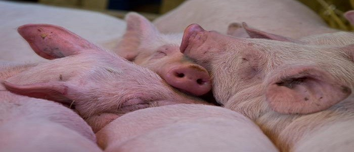 Peste suina, in un anno ha ucciso 5 milioni di maiali in Asia