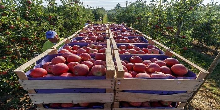 Frutta fresca, cala in Italia la produzione di mele, pere e Kiwi