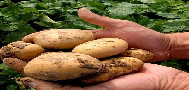Crea, scarti di patate e rucola per battere malattie cereali